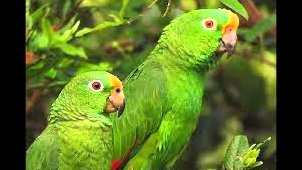 Loro Real Amazonico Precio