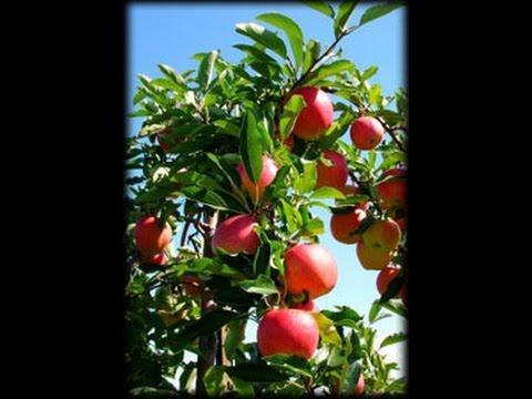 Como cultivar arboles de manzana a trav s de semillas youtube - Como plantar arboles frutales ...