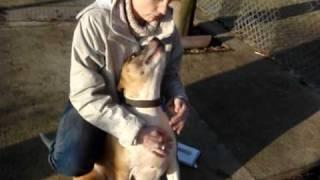 Darwin - Staffordshire Bull Terrier Cross Avaliable For Adoption