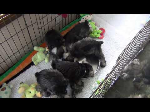 Chocolates - Miniature Schnauzer Puppies - 5th Edition