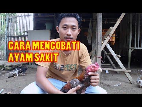 Cara mengobati Penyakit Kuning Pada Ayam salam satu hobby kukuruyukkk... – kali ini botoh indonesia akan membahas tentang....