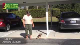 Sammie The Morkie - Dog Training Of Fort Myers - Patrick Logue