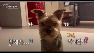 사람이 알아듣게 의사표현 잘하는 강아지(치키치카? 하면…