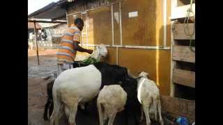Passion for Animal Rearing at New Town,Accra