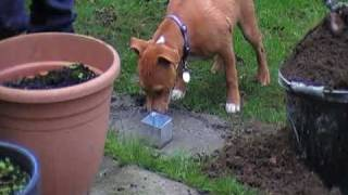 "Staffordshire Bull Terrier:-brody Has ""spade Phobia"" Part3"