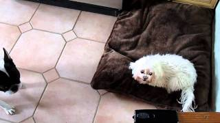 Funny French Bulldog Speaks To Maltese...says Get Off My Bed