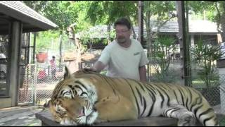 Chiang Mai 4 - The Tiger Kingdom Video