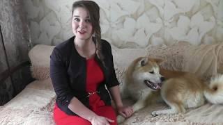 Акита ину  все о породе.Akita Inu-all about the breed