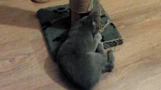 Смешные котята ))) Русская голубая кошка. Питомник Shelaeff*BY.