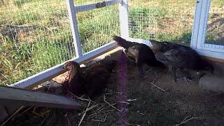 Chicken breed (rare) from EU Belgium  - Luikse Vechter, Combattant Liègois, Belgian game.