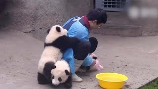 Cute alert! Giant panda cuddles with keeper during shower time