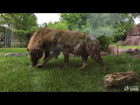 Hyenas Moja and Pinduli- Toronto Zoo