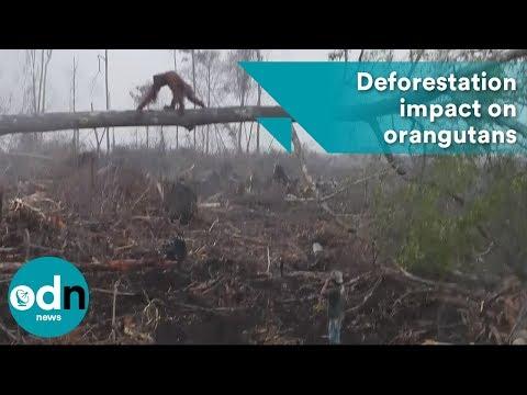 Un orangután ataca la excavadora ilegal que destruye su hábitat en Borneo