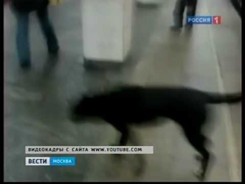 Лабрадор - Собака друг человека. Павел Лав - YouTube