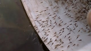 How to Collect & Taking Care Baby Fish from Breeding Pond into Fry Trap