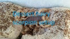 Desert hairy scorpion setup