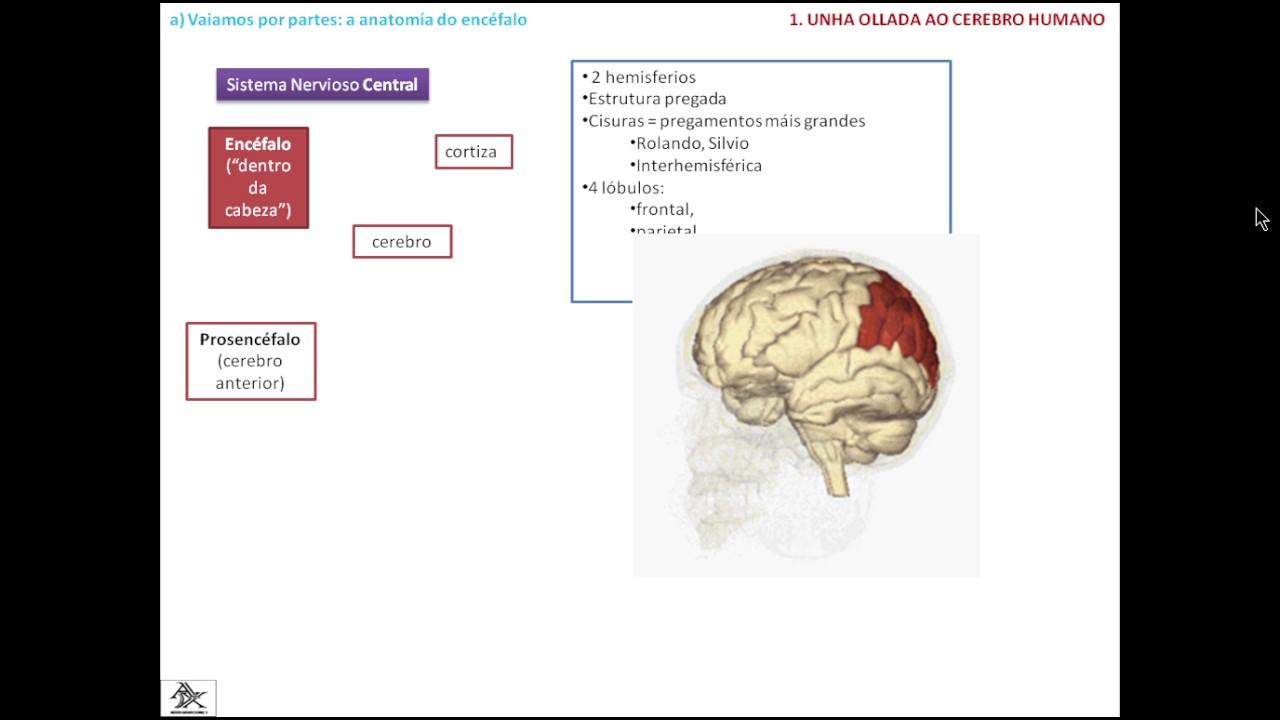 PPT B2 D6 Corteza cerebral - YouTube