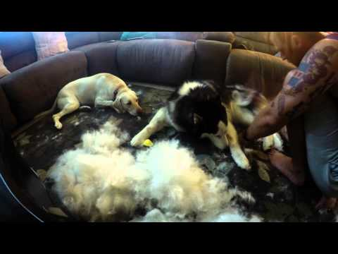Siberian Husky Blowing his winter coat