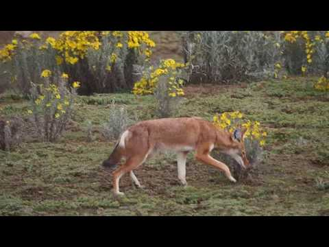 PB307593   Ethiopische wolf Bale Mountains NP