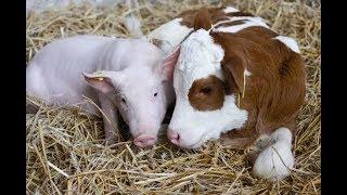 Коровы и свиньи. Почему мы их не держим.