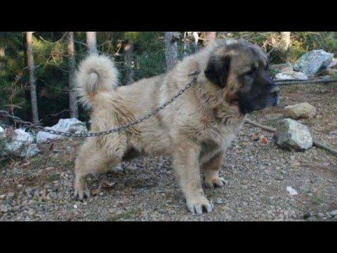 GLADIATOR (qen sharri 78cm 104kg)
