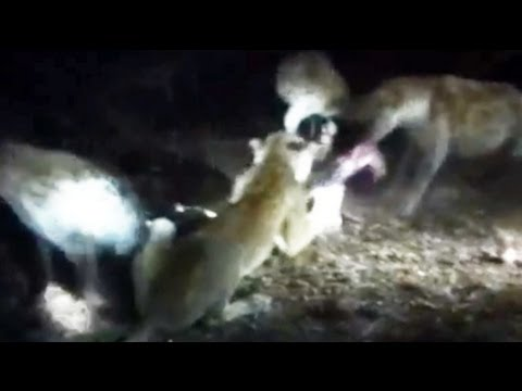Lioness Vs A Pack Of Hyenas - May 2012 - Latest Sightings