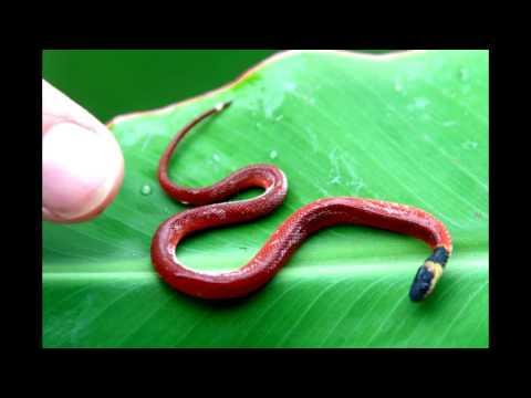 Snake ง งู  Snake