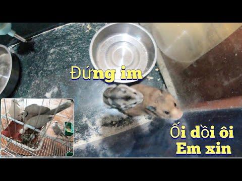 Chuột Anh Quế Nghịch TV Tặng Dữ Quá Chiến Cả Chuôt Hamster Bear ,Chim Cu Lại đẻ /Trường 6 TV