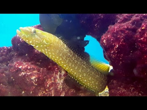 La anguila lobo verde (Congrogadus subducens) Ficha Técnica