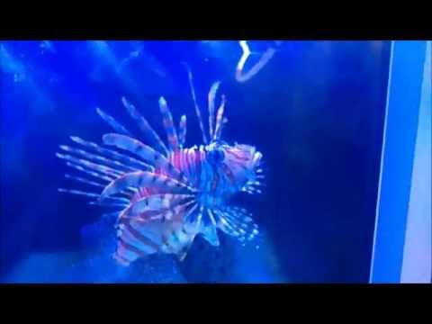 Skrzydlica Pterois Volitans (Volitan Lionfish)