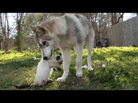 Husky Wolf Takes Care of Cat