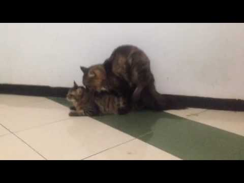 Mainecoon cat mating