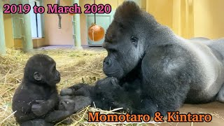 【Kyoto】Gorilla⭐️Silverback Momotaro‼︎ The road to becoming a good father(Indoor edition)
