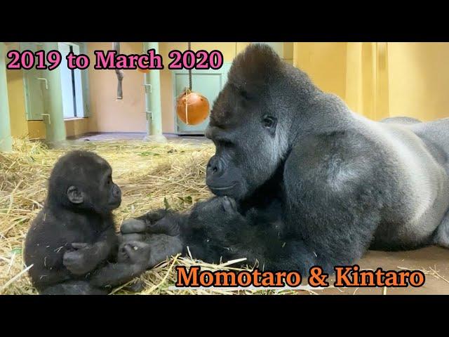 Горилла [городской зоопарк Киото] Маленькая Микки и ее родители! Дорога к тому, чтобы стать хорошим отцом (закрытое издание)