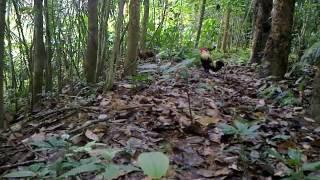 Download Video Pikat ayam hutan anak helang 01 MP3 3GP MP4