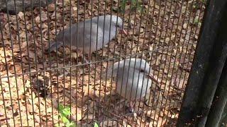 飛べない鳥「カグー」(野毛山動物園)Kagu