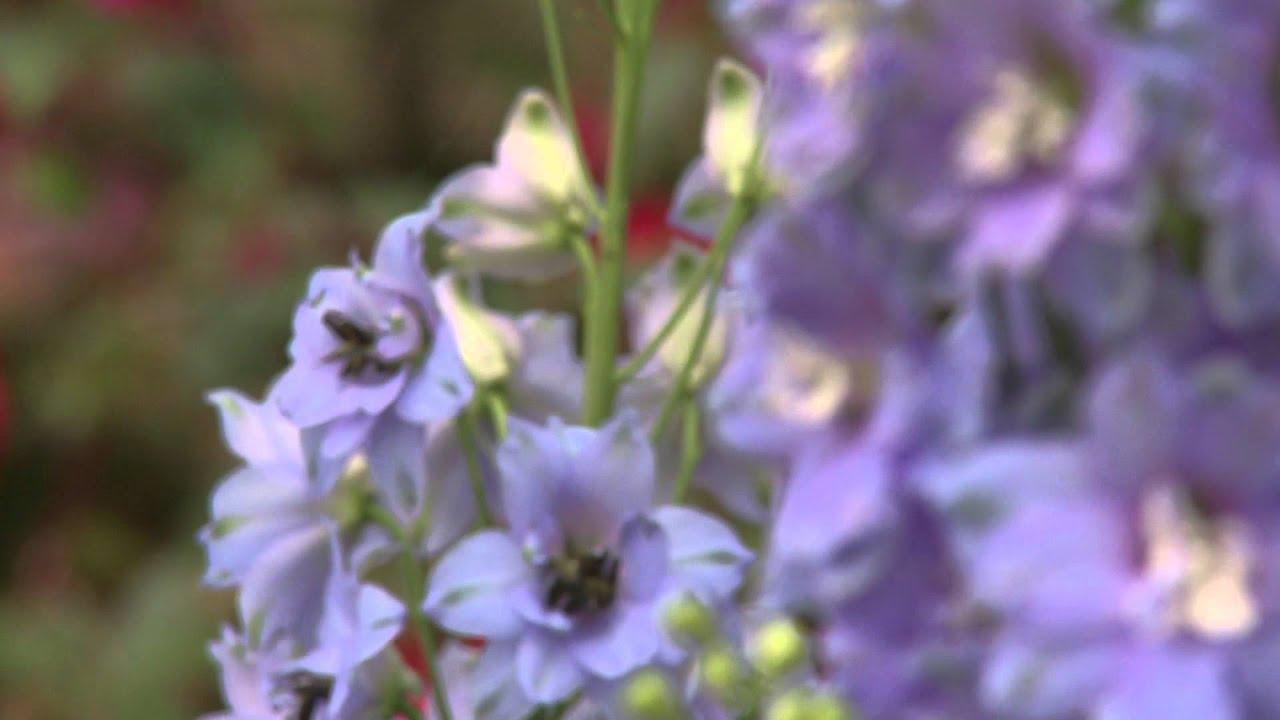 Delphinium Pacific Giant Flower Youtube