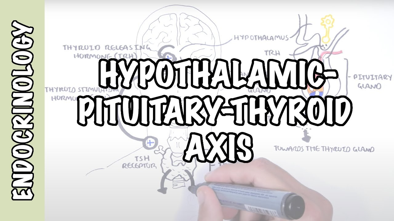 Hypothalamic Pituitary Thyroid Axis Regulation Trh Tsh Thyroid