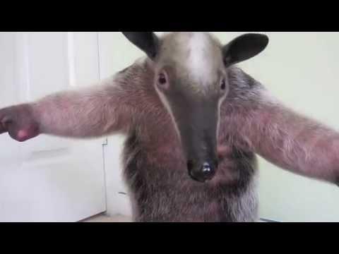 Anteater Frightens Baby Kangaroo Youtube