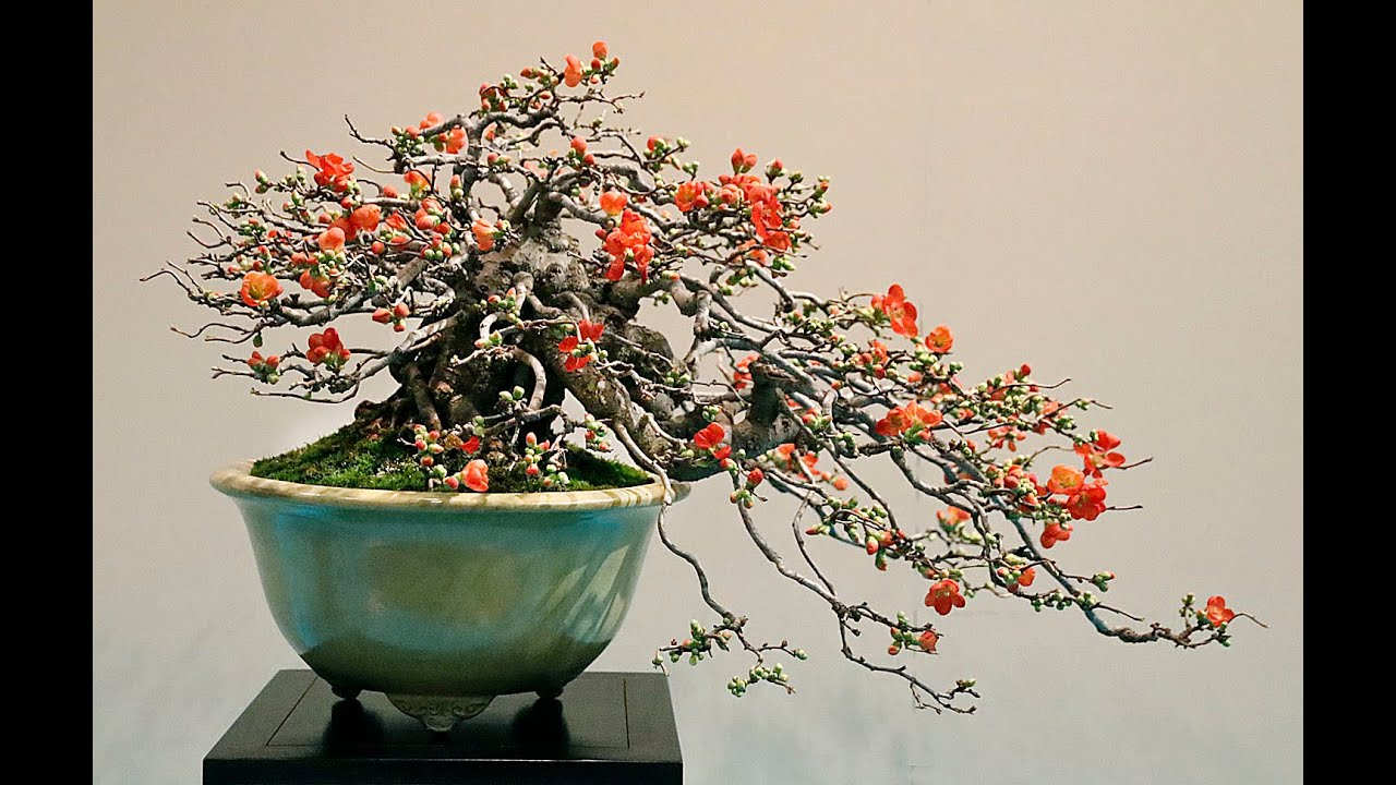 Flowering Quince For Bonsai Youtube