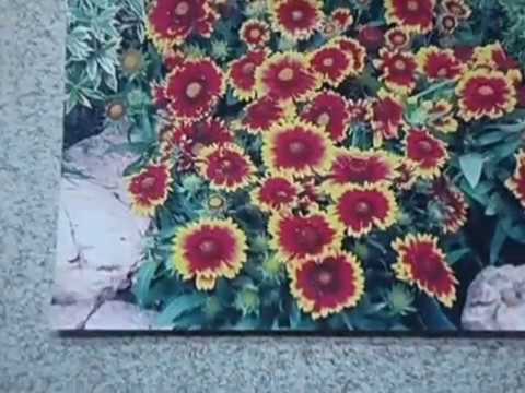 ГАЙЛАРДИЯ  ПОСЕВ  Видеоурок от Ольги Черновой 27 января 2017 г