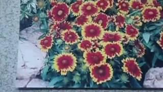 видео Гайлардия (Gaillardia)
