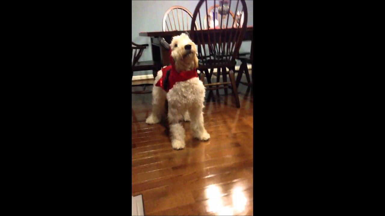 Goldendoodle Won T Move In Costume