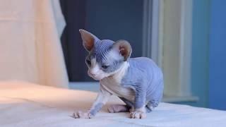 Mèo không lông Sphynx con 4 tuần tuổi