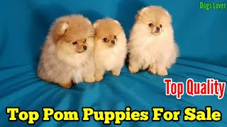 Top Quality Toy Pom Puppies Available For Sale ????