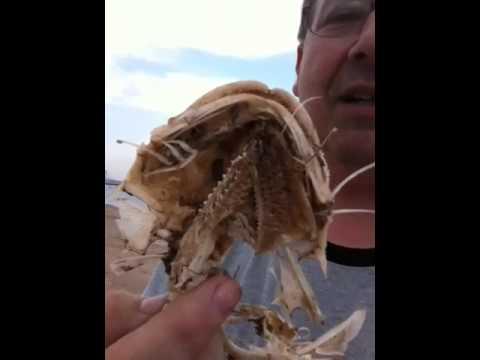 Fish Gill Raker