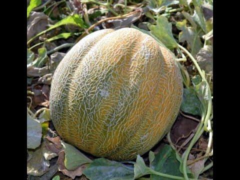 Дыня в открытом грунте. Тонкости выращивания рассады дыни.