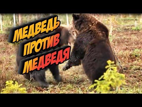Битва медведя против медведя. Медвежья схватка.