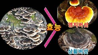 영지.상황버섯보다 더 뛰어난 효능을 가진 운지버섯(Un…