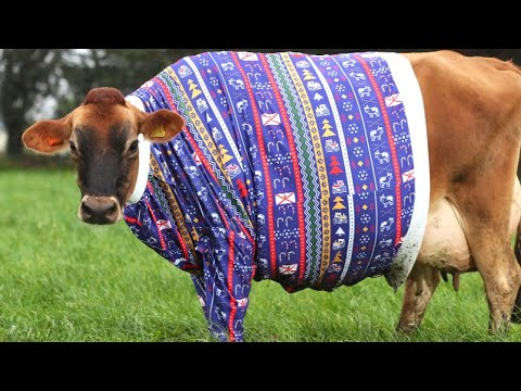 Ken Payne - Cows In Christmas Sweaters Is Apparently A Thing